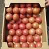 小の よさこい高知県産 フルーツトマト4kg(箱)|糖度7〜8度前後のとまと(40〜50個入り)